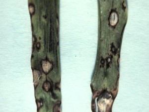 Leaf spot symptoms of Gray Leaf Spot on St. Augustinegrass.