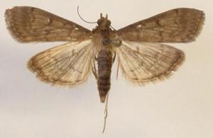 Tropical sod webworm adult