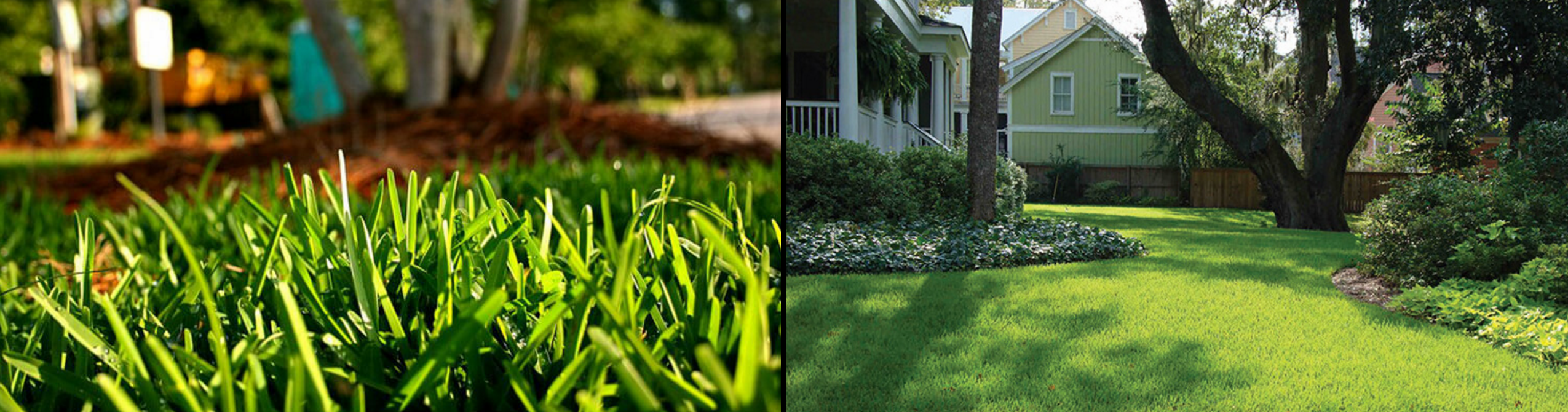 Palmetto St. Augustine grass pests