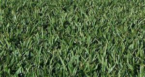 Floratam St Augustine grass pests