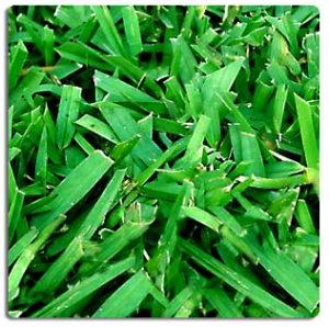 bitterblue st. augustine grass pest management