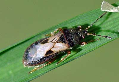 Chinch bug st augustine grass common pest