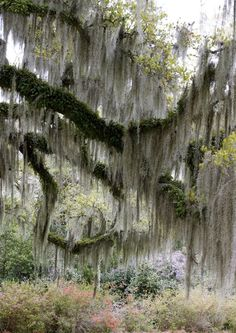 spanish moss perfect tree killer