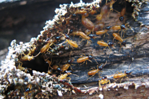 know about termites subterranean burrow