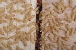 know about termites white ants burrow
