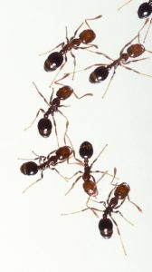 fire ants are pests superior spray