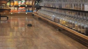 commercial pest control company rat in store