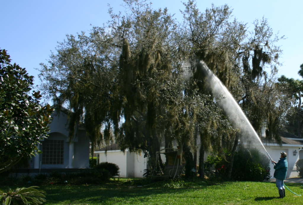stop spanish moss from killing my trees moss removal lakeland fl