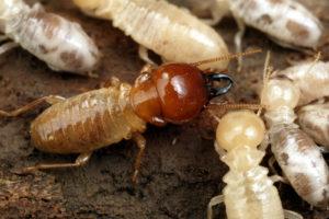 prevent termite budding