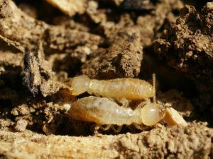 prevent termite budding swarming