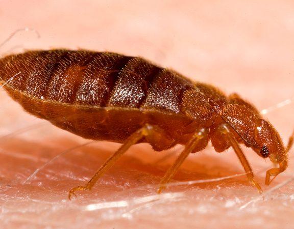 bed bug superior spray