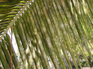 spiraling whitefly palm trees
