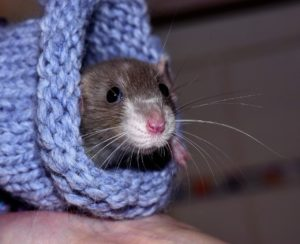 keep rodents out warm rat