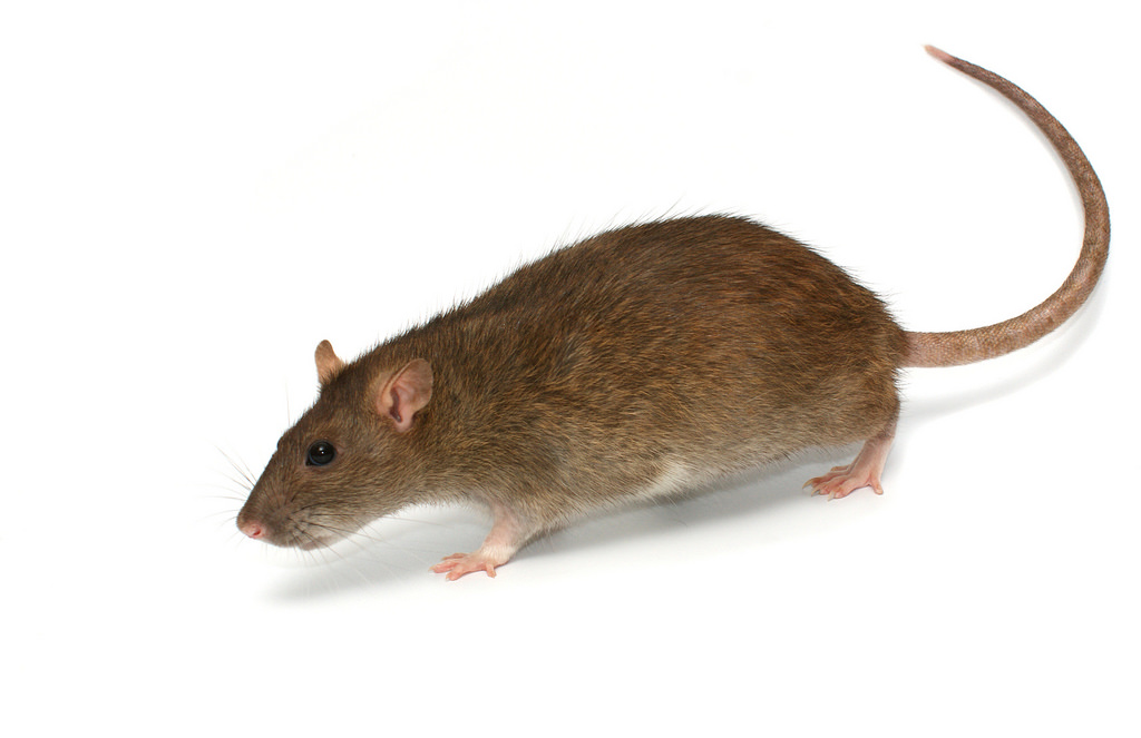 keep rodents out rat