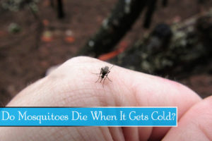 Mosquitoes Die When It Gets Cold