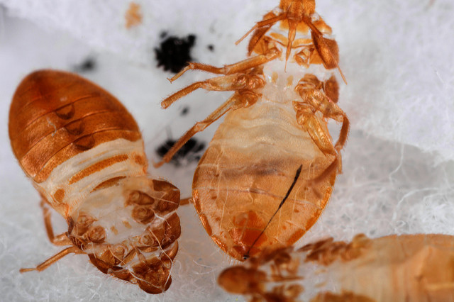 bed bugs disgusting pest skin shed