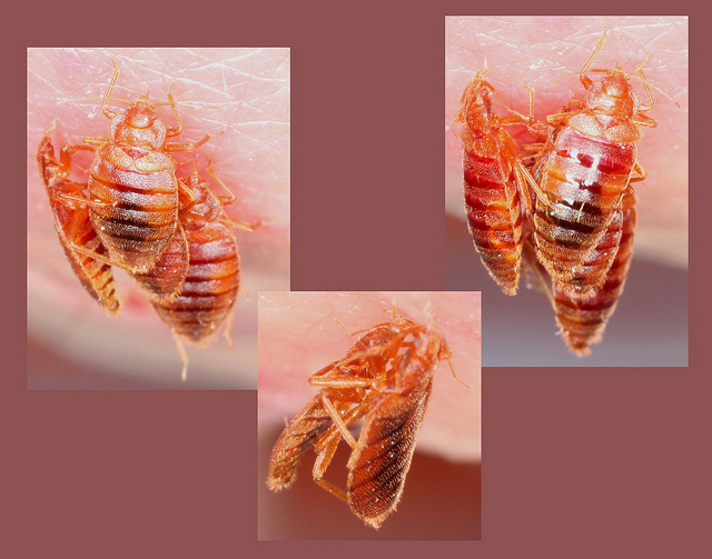 bed bugs feeding disgusting pest