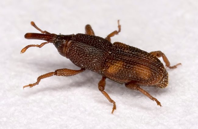 Superior Spray Service wheat weevil