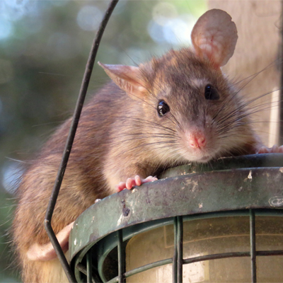 How To Immediately See The Difference Between Rats And Mice