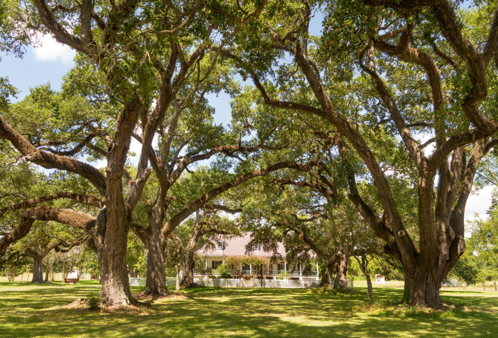Live Oak Tree Restoration Superior Spray Service