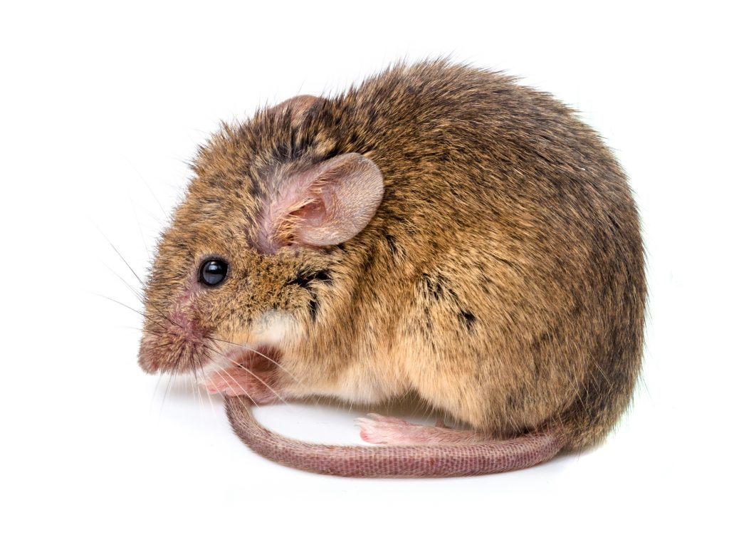 What you should know about rodents rat mouse