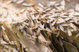 termite swarming florida